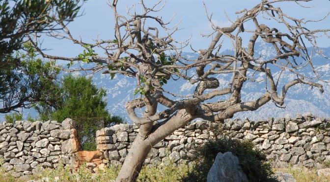 Gaj raj oliwny