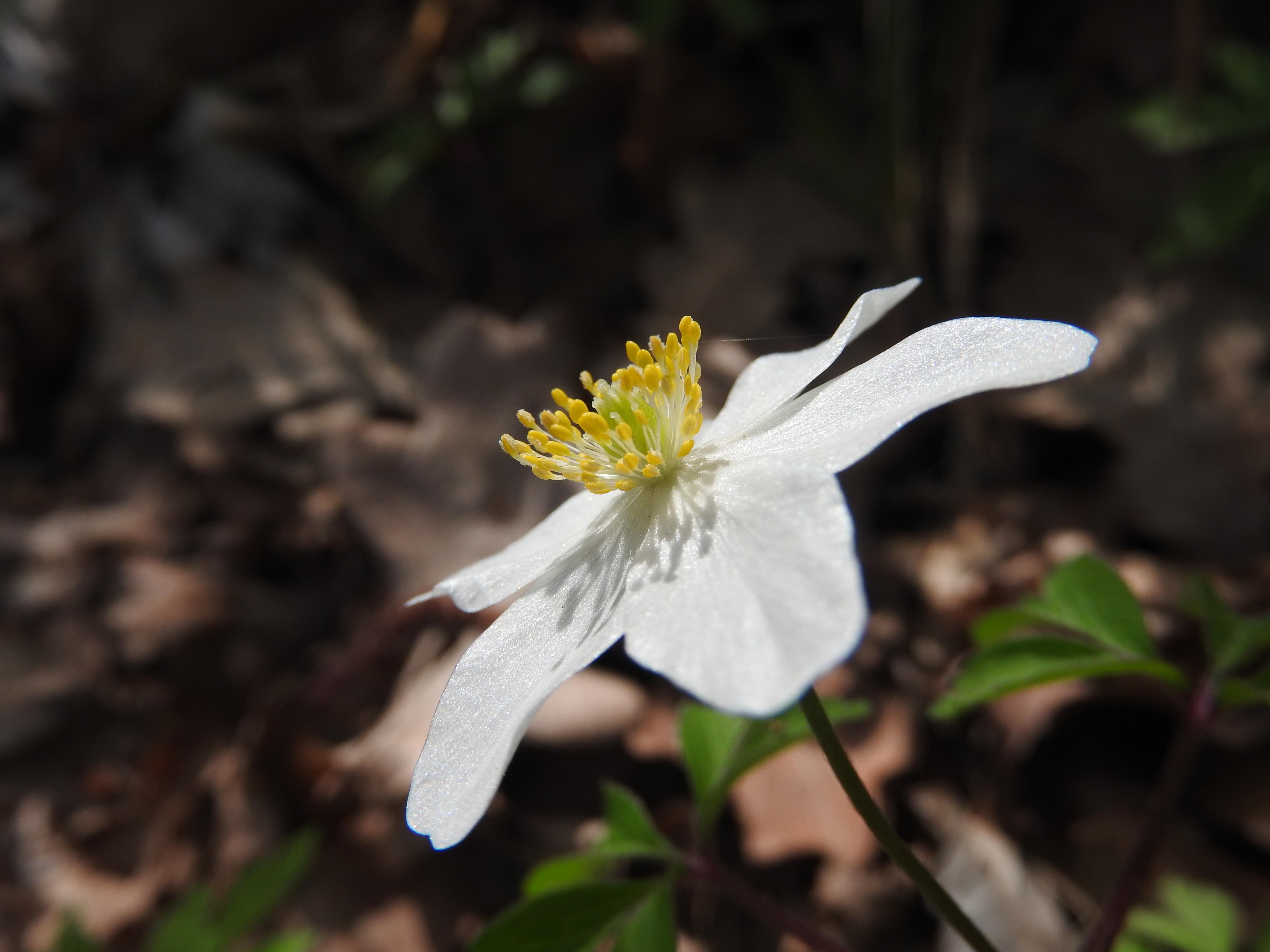 Zawilec gajowy Wood Anemone
