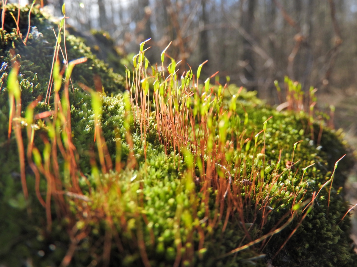 Spring mosses