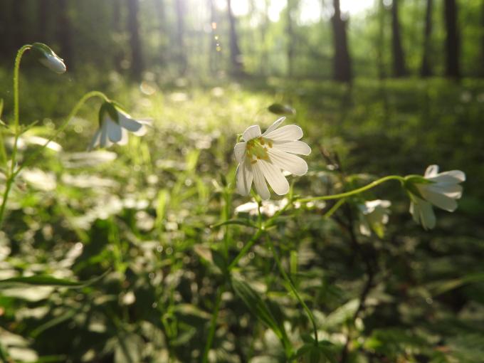 Rogownica kutnerowata Snow-in-Summer (Cerastium tomentosum L.) Downloadfree