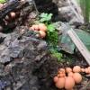 Rulik - podróżujące grzyby