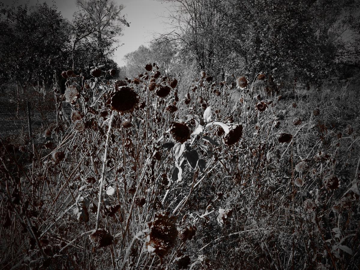 Stłumiony chichot jesieni