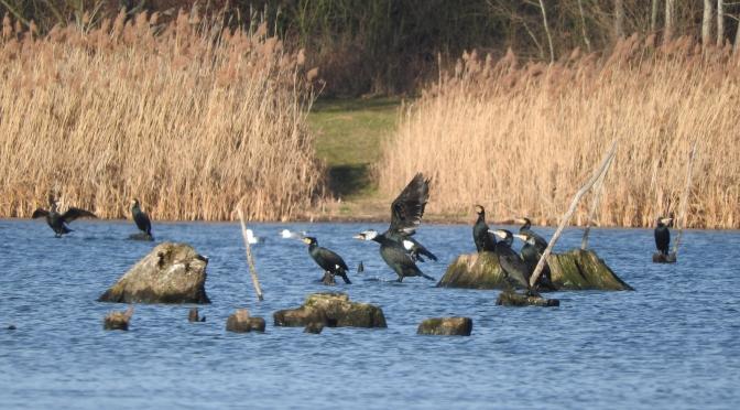 Żarłoki / cormorants