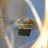 Ropucha szara (Bufo bufo) / Common toad