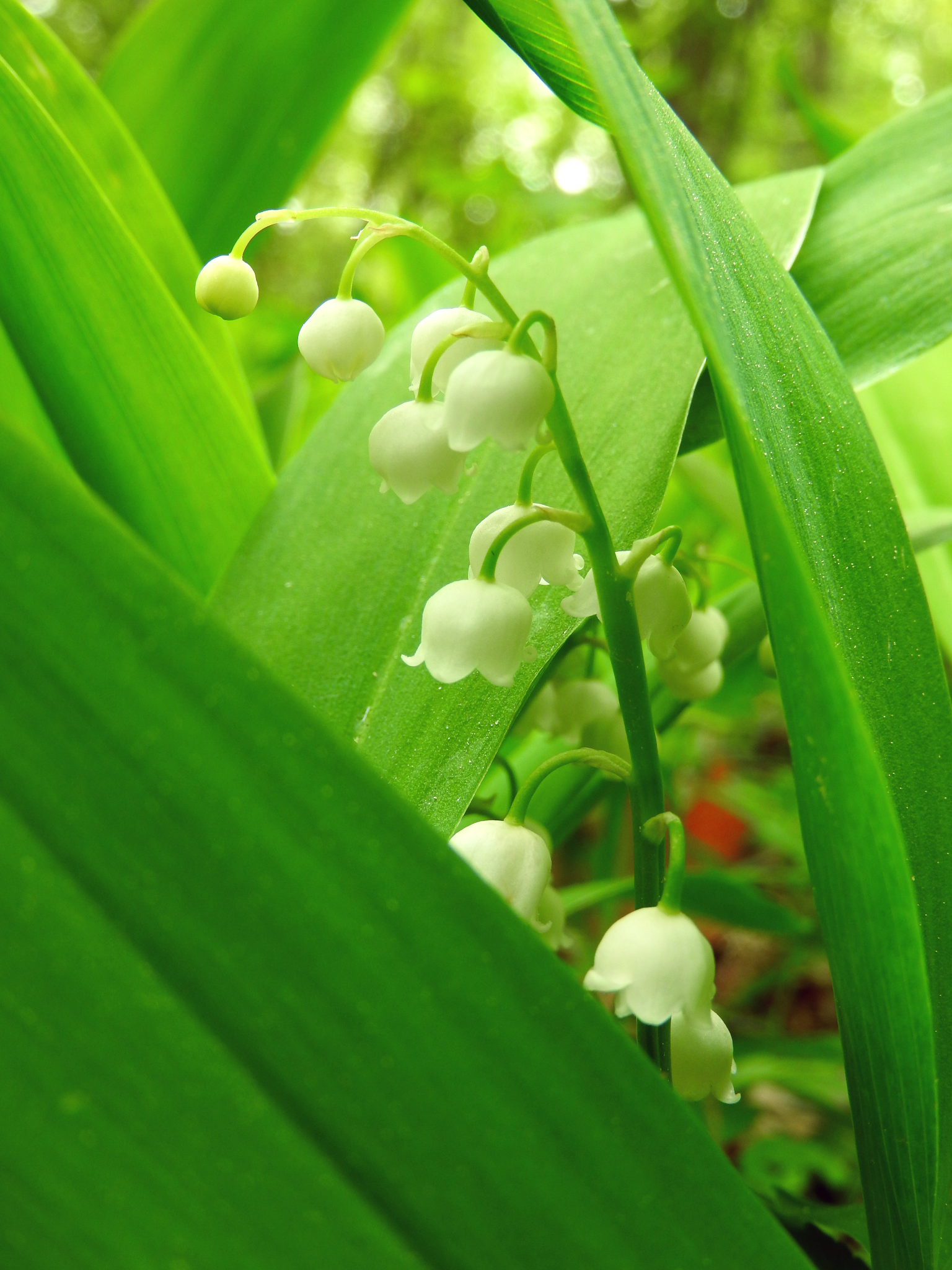 Lily of the valley Konwalia majowa (Convallaria majalis L.)