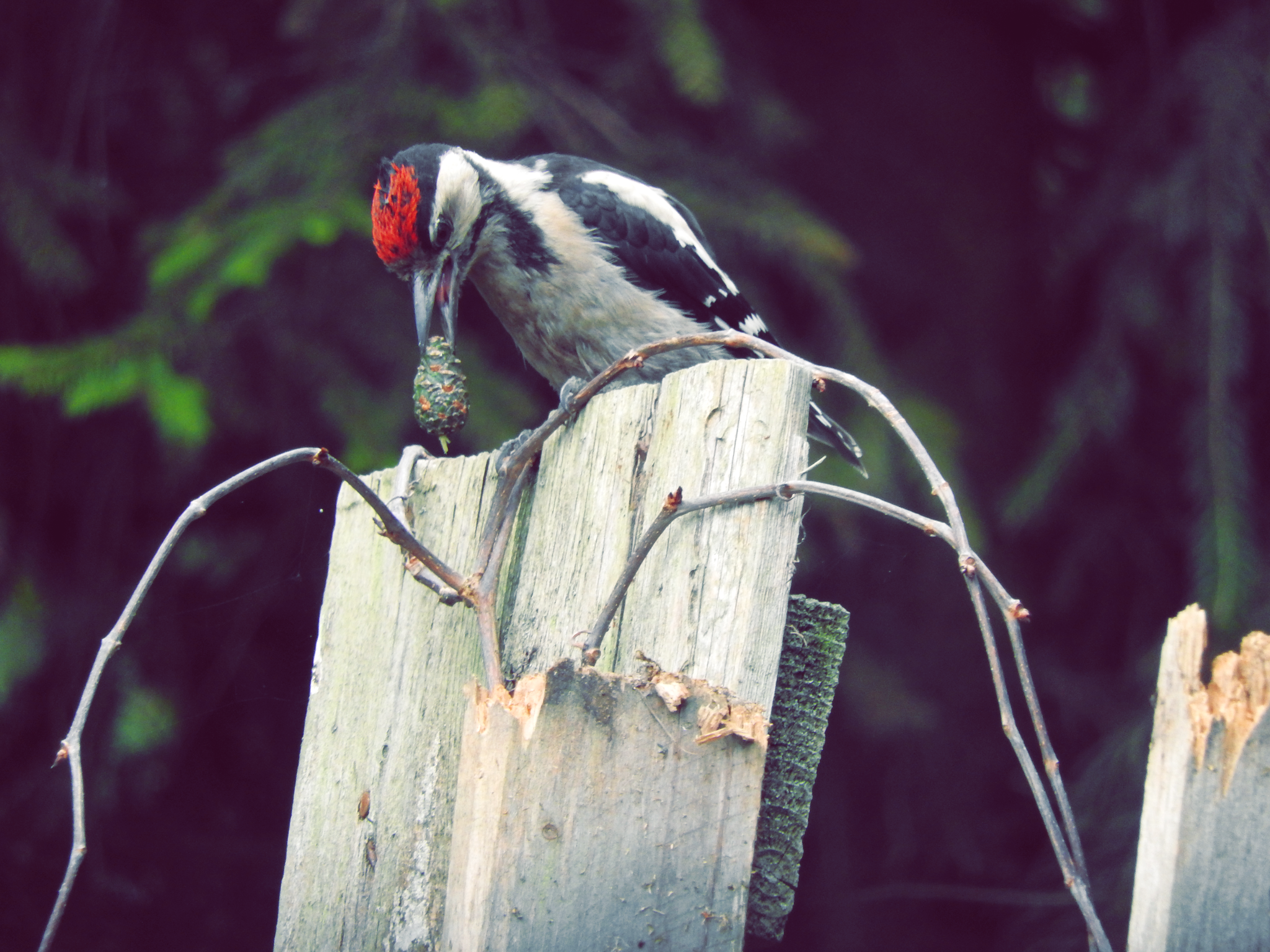 The Woodpeckers Dzięcioły