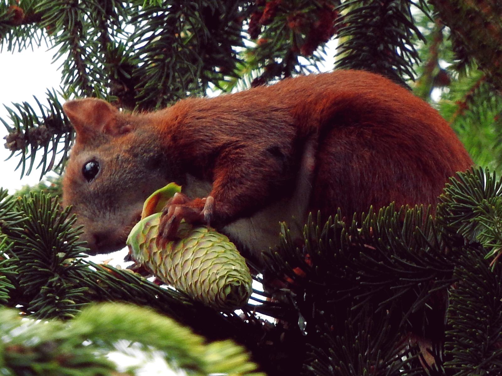 Wiewiórki na moim podwórku dalej w ciąży The squirrels in my backyard are still pregnant