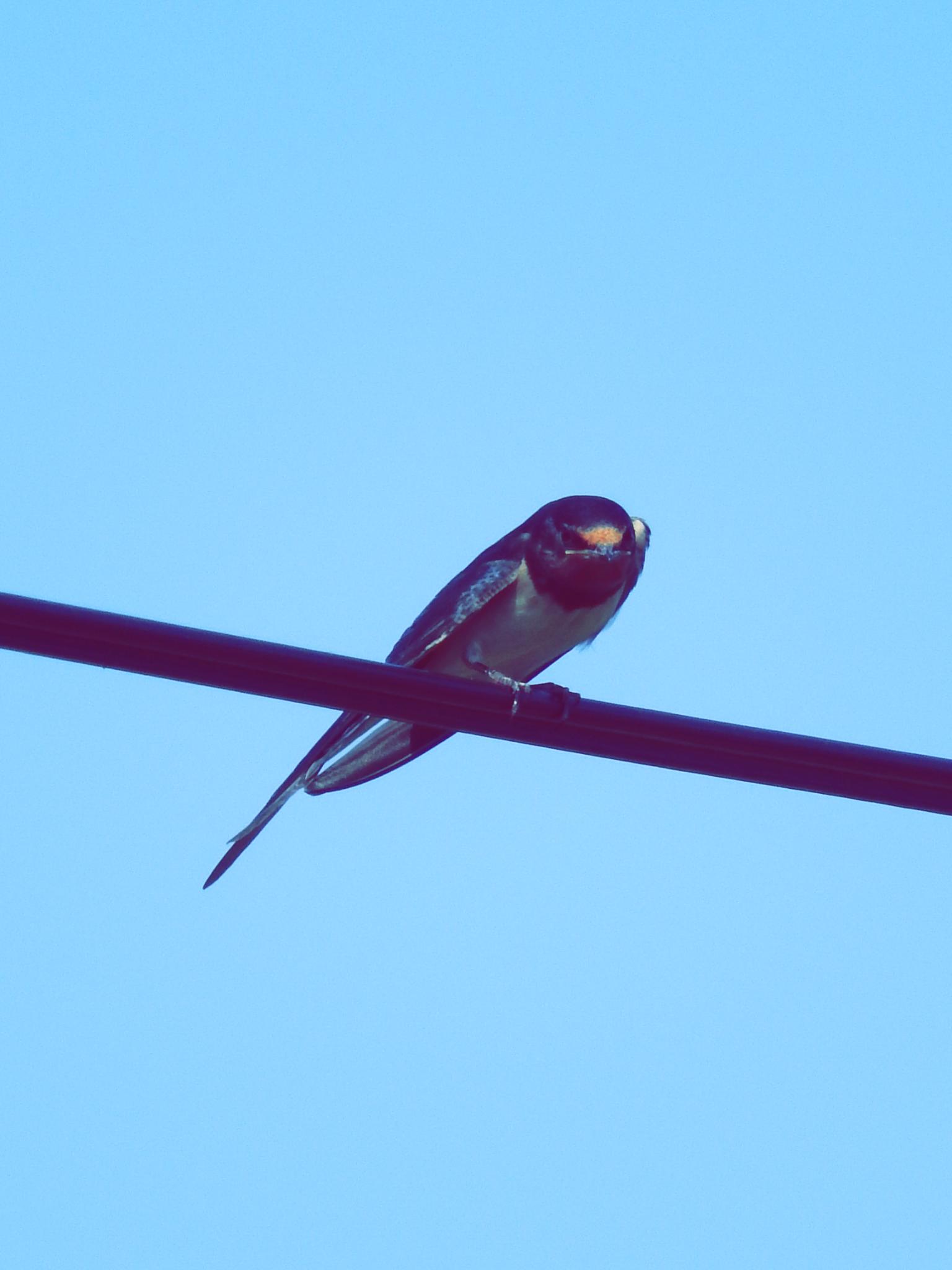 Jaskółki, szpaki i inne ptaki Swallows, starlings and other birds