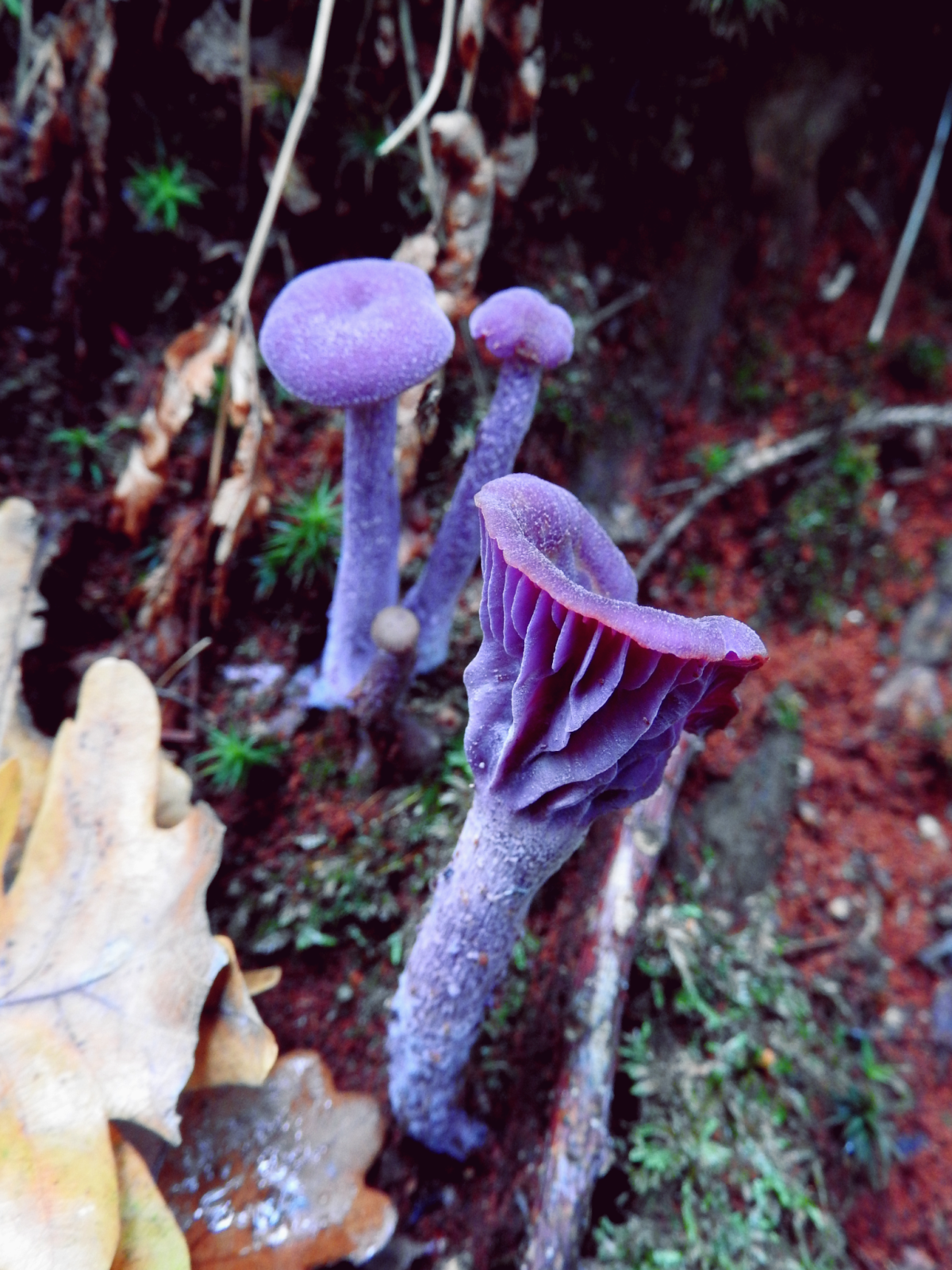 Purple Magic Mushrooms