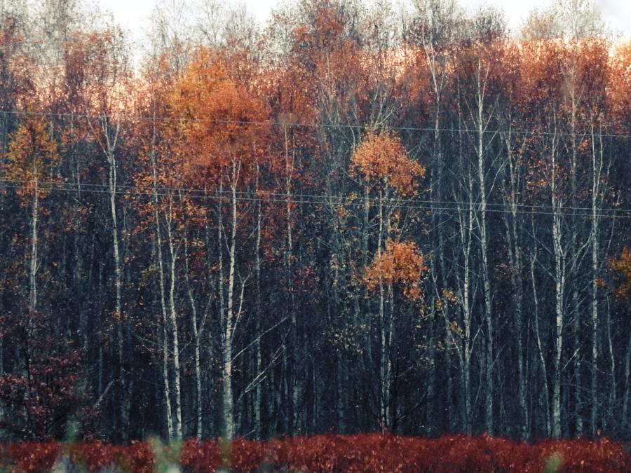 Brzozowisko Birch