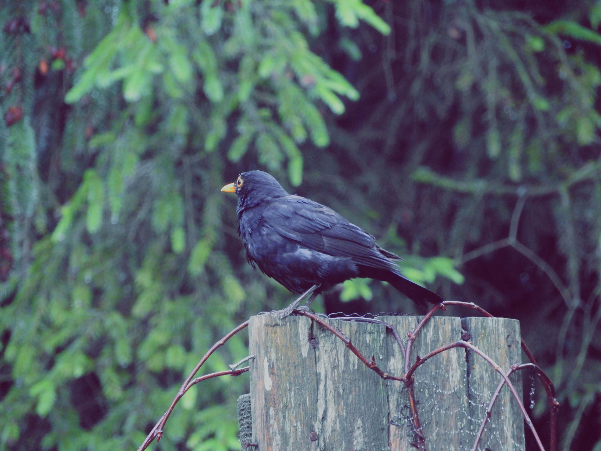 Kos Blackbird